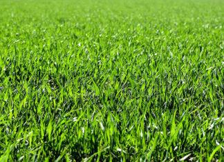 nasiona trawy